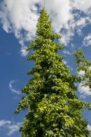 Hopfen - die wichtigste Hanfpflanze